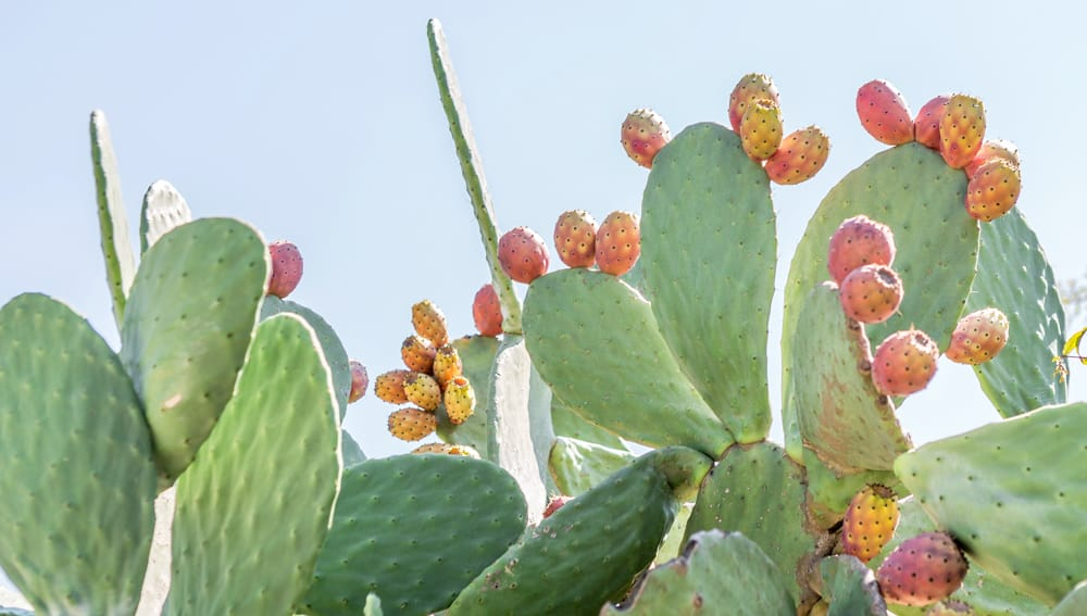 Prickly Pear Pictures